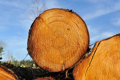 Fresh piled tree Royalty Free Stock Images
