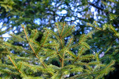 Fresh pine bows Royalty Free Stock Photo