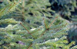 Fresh pine bows Stock Photography