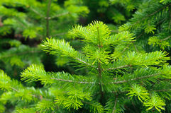 Fresh pine branch at summer. Fresh needle leaves on pine branch at spring Stock Photo