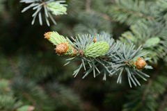 Fresh pine buds for syrup Stock Image