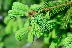 Fresh pine buds for syrup Royalty Free Stock Images