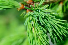 Fresh pine buds for syrup Royalty Free Stock Photo