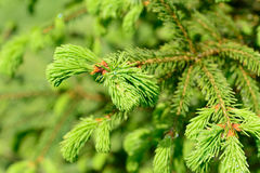 Fresh pine buds for syrup Stock Photography