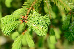 Fresh pine buds for syrup Royalty Free Stock Image