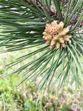 Fresh pine cone in formation on tree. In spring Royalty Free Stock Photography
