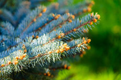Fresh pine fir Royalty Free Stock Photo
