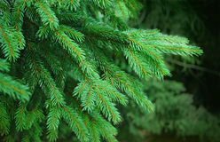 Fresh pine needles Royalty Free Stock Photo