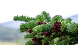 Fresh pine tree growth budding red pine cones royalty free stock photo