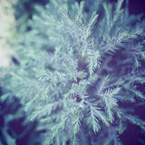 Fresh pine tree with retro filter effect Stock Photo