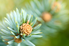 Fresh pine tree sprout Stock Image