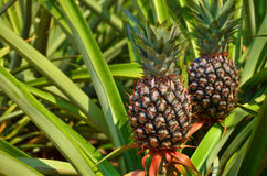 Fresh Pineapple in farm Stock Images