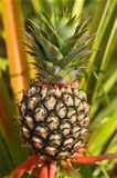 Fresh Pineapple in farm Royalty Free Stock Image