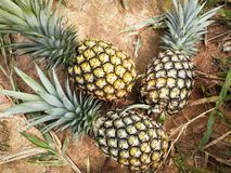 Fresh pineapple stock image