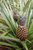 Fresh Pineapple in farm Stock Image