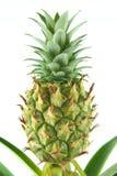 Fresh pineapple fruit on a pineapple plant Ananas comosus closeup. Fresh pineapple fruit on a pineapple plant Ananas comosus in closeup view royalty free stock photos