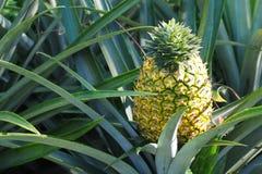 Fresh pineapple growing up in garden stock image