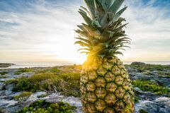 Fresh pineapple on rocky shores