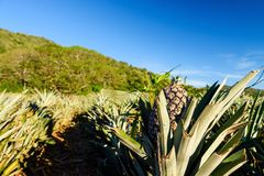 Fresh Pineapple tropical fruit in farm Royalty Free Stock Photography