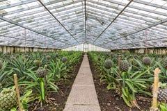Fresh Pineapples Growing Into Glasshouse Stock Photos