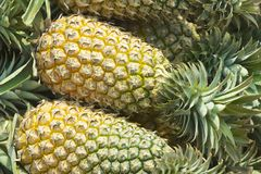 Fresh pineapples just harvested in Chumphon province, Thailand. Royalty Free Stock Images