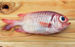 Fresh Pinecone soldierfish for cooking. From asian fishery market photo in daylight time show big eyes and pink scales Stock Image
