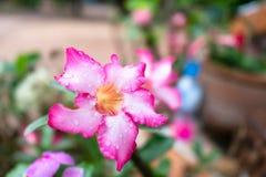 Fresh pink Azalea flower after rain on background. Fresh pink Azalea flowers after rain on background Royalty Free Stock Images