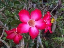 Fresh pink azalea flowers on tree with rain drops. royalty free stock photo