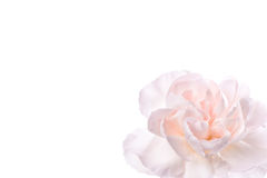 Fresh pink carnation Stock Photo