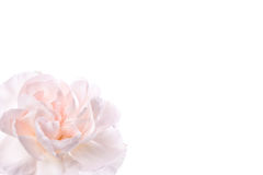 Fresh pink carnation Stock Image