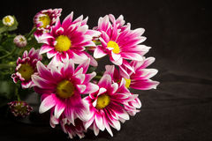 Fresh pink chrysanthemums Stock Photo