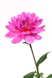 Fresh pink dahlia close up Royalty Free Stock Image