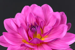 Fresh pink dahlia close up Stock Image