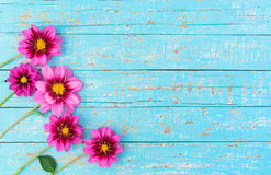 Fresh pink dahlia flowers border Royalty Free Stock Photos