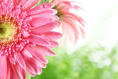 Fresh pink daisy Royalty Free Stock Photo