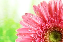 Fresh pink daisy with water drops Stock Photos
