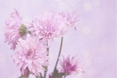 Fresh pink flowers with a pink halo and bubble background. Soft pink flowers with copy space on a textured background Stock Images