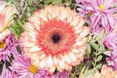 Fresh pink gerbera chamomile orange flower. Closeup stock photos
