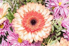 Fresh pink gerbera chamomile orange flower. Closeup royalty free stock photo