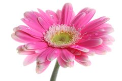 Fresh pink gerbera in with dew Stock Images