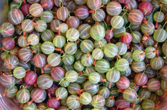 Fresh pink and green gooseberries Stock Images