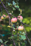 Fresh pink harvest apples on tree branch in garden Royalty Free Stock Images