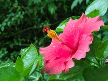 Fresh pink hibiscus flower after rain. Fresh pink hibiscus flower opened in a morning. Small drops appear after rain Stock Images