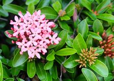 Fresh Pink Ixora Flowers in A Garden. Beautiful Flower, Group of Fresh Pink Ixora Flowers with Green Leaves on Tree in A Garden stock images