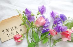 Sweet peas in pastel shades. Fresh pink and lavender-colored sweet peas on white eyelet fabric with the words sweet peas on a vintage  book page Stock Images