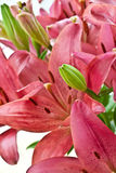 Fresh pink lilies Stock Images