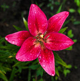 Fresh pink lilly . Stock Photography