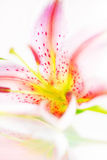 Fresh pink lily Stock Images