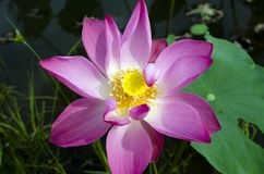 Fresh Pink Lotus. Stock Photos