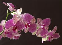 Fresh pink orchid with black background stock photos